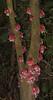 Saurauia sp (Cerlin Ng) Tags: trunk pinkflowers saurauia actinidiaceae cauliflory saurauiaceae cauliflorous saurauiarubens