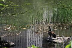 CentralPark (26) (ShellyS) Tags: nyc newyorkcity reflections geese pond centralpark manhattan lakes parks goose duckpond