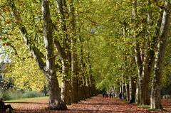 Platanenallee Tübingen ● Neckarinsel (eagle1effi) Tags: tree bäume allee tübingen platane neckarinsel platanenallee