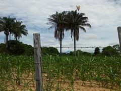 #palmeras #plantas #mariposa #cieloazul #nubesdealgodon #cerca #lg #lgg4beat #colombia (captured_photos1) Tags: plantas colombia palmeras lg cerca mariposa cieloazul nubesdealgodon lgg4beat