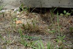 Lizard (Fede.Caps) Tags: italy animal italia lizard emilia lido romagna lucertola campeggio rettile