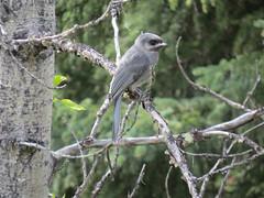 Juvenile grey jay (KiwiHugger) Tags: greyjay