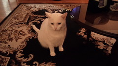 Mystic (universalcatfanatic) Tags: cats mystic white cat green eyes eye sit sitting black brown tan rug carpet coffee table living room livingroom christmas eve wood wooden hardwood hard floor
