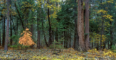 Fall along the Merced, Yosemite National Park, CA (arbabi) Tags: california autumn trees red usa tree fall nature pine america forest landscape nationalpark yosemitenationalpark riverbank sierranevada yosemitevalley mercedriver wildnerness mariposacounty seanarbabi