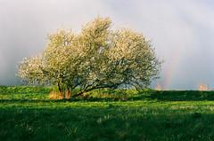April Weather - Ektar 100 (magnus.joensson) Tags: zeiss 50mm skne spring rainbow blossom kodak sweden swedish contax bloom handheld 100 rx planar ektar c41