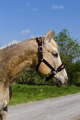 Lacey Goes to Hungary (Nix Alba) Tags: horses horse nature floral grass outdoors appaloosa hungary mare pattern blind traditional barns halter tack stables hungarian palomino equines equestrians sportaloosa