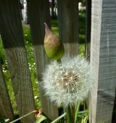 Flowerbud with Ruff 144/366 (Bebopgirl1969) Tags: flower garden dandelion flowerbud