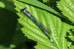 Damselfly (markyharky) Tags: blue macro water closeup boats clyde canal harbour sunny basin forth bowling damselfly bowlingbasin bowlingharbour forthandclydecanal bluedamselfly