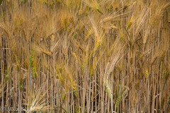 temps de blat-4157-2 (nuri_bri) Tags: espaa drops spain wheat cultivos es cereals cereales trigo garrotxa blat lagarrotxa tortella conreus triticumaestivum
