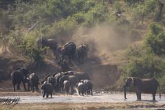 Elephant Herd- Kruger National Park, South Africa (wsweet321) Tags: africa bird nature southafrica mammal birding safari research endangered krugernationalpark kruger satara savanna bigfive skukuza knp lowersabie