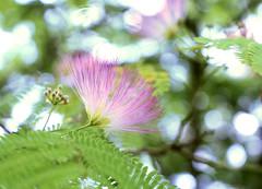 Mimosa tree blossom (jeansmootz) Tags: tree blossom mimosa albizia julibrissin