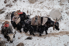 Yaks in the Snow in Gorak Shep (5180m) (Mild Delirium) Tags: nepal yak snow primavera animals evening spring outdoor nieve np himalaya himalayas khumjung     easternregion   fujinonxf1655mmf28rlmwr xf1655mm fujifilmxt10