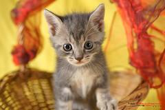 Cute 1 (ivandragutinovic) Tags: pet cats pets cute animal animals cat kitty ivandragutinovicphotography