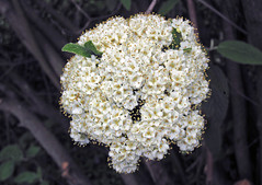 Viburnum sp. (Horseshoe Curve, Pennsylvania, USA) 1 (James St. John) Tags: viburnum flower flowers horsehoe curve altoona pennsylvania plant plants