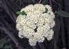 Viburnum sp. (Horseshoe Curve, Pennsylvania, USA) 1 (James St. John) Tags: viburnum flower flowers horsehoe curve altoona pennsylvania plant plants