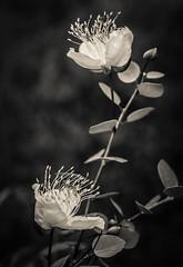 Fiori di Cappero e Cappero (Caper Flowers and edible flower buds) (Angelo Petrozza) Tags: blackandwhite biancoenero cappero caper buds flowers fiori white bianco pentax manuallens revuenon55mmf12