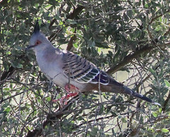 Ocyphaps lophotes lophotes (Crested Pigeon) (Arthur Chapman) Tags: desert australia southaustralia arid crestedpigeon birdsvilletrack ocyphaps lophotes ocyphapslophotes mulka taxonomy:class=aves taxonomy:kingdom=animalia taxonomy:phylum=chordata taxonomy:family=columbidae taxonomy:order=columbiformes taxonomy:genus=ocyphaps taxonomy:binomial=ocyphapslophotes taxonomy:common=crestedpigeon mungerannie geo:country=australia geocode:method=gps geocode:accuracy=100meters ocyphapslophoteslophotes taxonomy:trinomial=ocyphapslophoteslophotes geo:alt=57meters