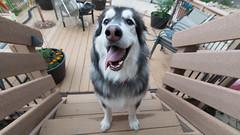 _DSC4114 (noyh) Tags: wideangle dog malamute