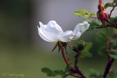 Midsummer rose (suominensde) Tags: white plant flower planta rose finland nikon midsummer blossom bokeh outdoor flor depthoffield blanca verano serene finlandia sereno d5300