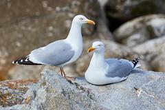 Goland argent (ijmd) Tags: bird oiseau france bretagne ledebatz