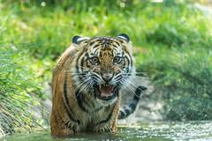 Suka enjoying the water on a warm summer day (ToddLahman) Tags: baby water cat canon pond teddy tiger tigers sumatrantiger joanne suka safaripark canon100400 tigercub babytiger tigertrail sandiegozoosafaripark babysumatrantiger canon7dmkii babysuka
