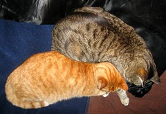 Beck and Amber, in bed with me. (Hairlover) Tags: pet cats pets public cat kitten tabby kitty kittens kitties