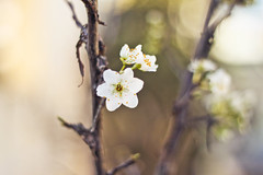 Blossom 3 (redaleka) Tags: new flowers light summer white flower tree nature beauty petals spring stem focus pretty branch dof blossom bokeh branches air fresh petal blossoming pure purity springy