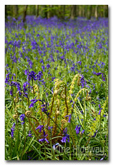 Tehidy bluebells (Simon Bone Photography) Tags: park nature bluebells woodland woods ferns unfurling countrypark tehidy canon1740mmlf4 wwwthehidawaycouk canoneos7d