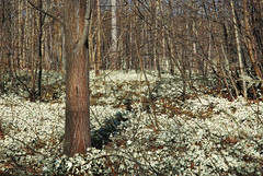 (Sameli) Tags: wood flowers trees white flower tree nature espoo suomi finland woods anemone forests nemorosa forestspring