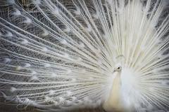 White Proud (Aliraza Khatri) Tags: show pakistan white bird love beauty animal proud dance king happiness peacock images off east getty punjab middle lahore khatri aliraza gettyimagespakistanq12012 gettyimagesmiddleeast