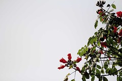 Rudro Polash _ 2/2012 [African Tulip] (HamimCHOWDHURY  [Active 01 Feb 2016 ]) Tags: life park pink blue red portrait white black green nature yellow canon eos colorful purple faces sony gray magenta violet surreal ash dhaka dslr vaio rgb bangladesh ramna 60d framebangladesh incrediblebengal gettyimagesbangladeshq12012 01611595036 rudropolash