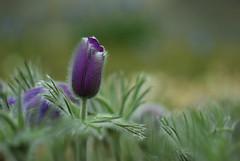 Tulip (C. Dawal Sabanal) Tags: spring edinburgh 2012 royalbotanicgarden pentaxk10d helios44k458mmf2