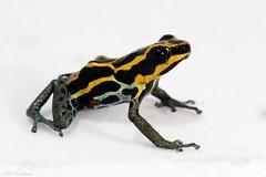 Amazonian Poison Frog (J.P. Lawrence Photography) Tags: amphibians captive vertebrates anura dendrobatidae ranitomeya ventrimaculata