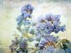 Flores secas / Dried Flowers (II) (Transmontano) Tags: textura portugal photoshop texturas textured idream xoox transmontano artofimages portugalmagico