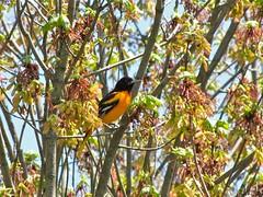 Baltimore Oriole (Libra 42) Tags: orange white ontario canada black tree bird leaves animal canon spring backyard feathers powershot