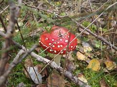 BLITZREGN BABYYYY (fennec.fox) Tags: deleteme5 autumn red deleteme8 deleteme deleteme2 deleteme3 deleteme4 deleteme6 deleteme9 fall deleteme7 mushroom leaves sticks deleteme10 ground toadstool