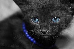 =Pp (~   ~) Tags: blue black cat eyes kitten little