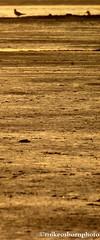 Blackwater gold (mikeosbornphoto) Tags: sunset gold mud essex maldon birdlife riverblackwater
