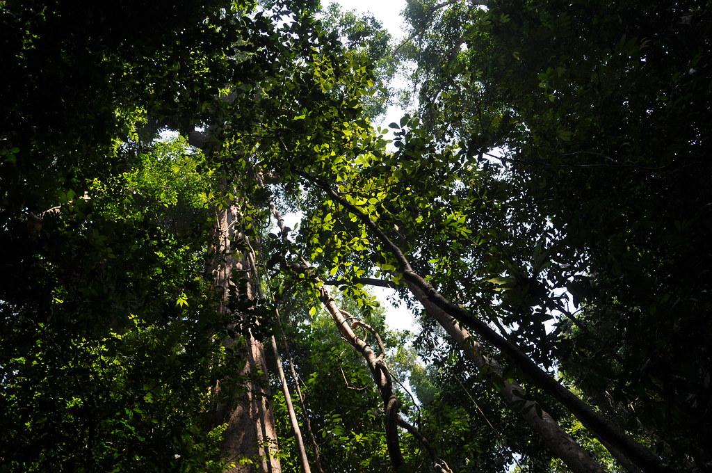 Stand of trees, taman negara national park, malaysia