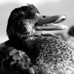 Canard à Vidy (Phonatics) Tags: sea white black duck scare vide d3100