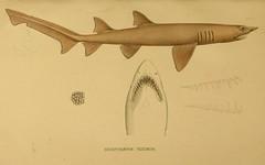 n284_w1150 (BioDivLibrary) Tags: shark identification classification sandtigershark chondrichthyes greynurseshark taxonomy:binomial=carchariastaurus spottedraggedtoothshark taxonomy:binomial=odontaspistaurus harvarduniversitymczernstmayrlibrary bhl:page=6353170 dc:identifier=httpbiodiversitylibraryorgpage6353170 bluenursesandtiger