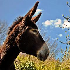 (Perluti) Tags: portrait naturaleza nature animal animals nikon retrato donkey natura burro 1855mm bizkaia euskalherria euskadi vizcaya basquecountry paisvasco paysbasque delica delika nikond3000 perluti mikelaguirre aztoa
