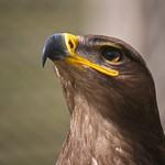 Steppe eagle thumbnail