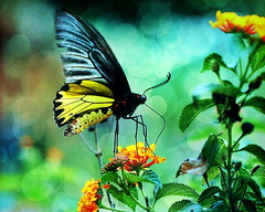Common Birdwing (ulli_p) Tags: flowers light red flower macro art texture nature colors beautiful yellow rural photoshop thailand fantastic colorful asia southeastasia colours bokeh insects best lantana textured isan butterflys motat naturesfinest artisticexpression commonbirdwing troideshelena aworkofart supershot insekts topshots lantanaflower flickraward texturedphoto ruralthailand canoneos450d naturewatcher asiananimals earthasia awardtree tatot bestflickrphotography spectacularmacro artofimages magicunicornverybest exoticimage mygearandme