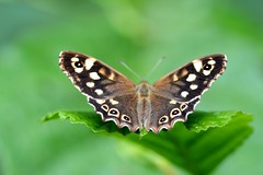 Speckled Wood butterfly - Amsterdam (IvoMathieuGaston) Tags: wood brown white black color colour macro green colors amsterdam yellow butterfly leaf wings beige nikon colours dof wing speckled d300 naturegroup speckledwoodbutterfly flickrsbestgroup butterflycolorgroup naturewatchinggroup eperkegroup flickrstarsgroup wonderfulworldofanimalsgroup wonderfulworldofmacrogroup natureisallgroup naturegreenstargroup butterfliesgroup nikonflickrawardgroup onlyanimalsgroup loverofnaturegroup wonderfulworldofdofgroup flickrunitedgroup macrosdenaturalezagroup beautifulshotgroup butterflybeautygroup dutchnaturegroup naturephotographygroup butterflygallerygroup universeofnaturegroup naturestylegroup macrowordlgroup worldofanimnalsgroup