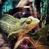 (Camper_Bob) Tags: nature lizard phot chameleon flickrandroidapp:filter=none