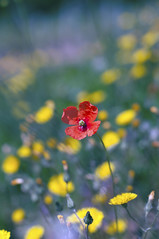 Somewhere in Beaujolais fields (Varvara_R) Tags: red france flower colour nature field yellow geotagged spring poppy beaujolais naturesfinest coth supershot abigfave diamondclassphotographer flickrdiamond platinumheartaward awesomeblossoms coth5 sunrays5 ginegold