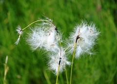Mountain flower (A.M.F.G) Tags: flowers flower nature foglie estate fiori fiore altopiano montagna altoadige floret castelrotto alpedisiusi fioredimontagna