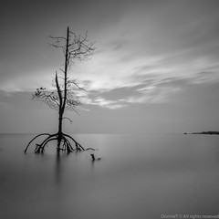 Still Standing Strong (MOG'S) Tags: longexposure sunset blackandwhite bw seascape tree beach landscape mono seaside long exposure sundown mangrove malaysia 5d minimalism milky minimalist lonelytree selangor banting morib 1635l leefilter malaysialandscape pantaikelanang bigstopper leebigstopper 5dmark3 landscapemalaysia malaysialandscapespot