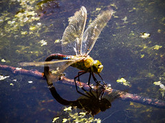 Emperor Laying Eggs (Barry Lloyd) Tags: park canon eos dragonfly eggs sheringham emperor laying 550d